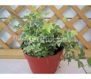 Plantas trepadoras - Enredaderas de interior ...