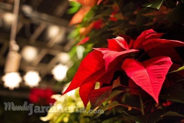 C mo cuidar las plantas de navidad - Cuidados planta navidad ...