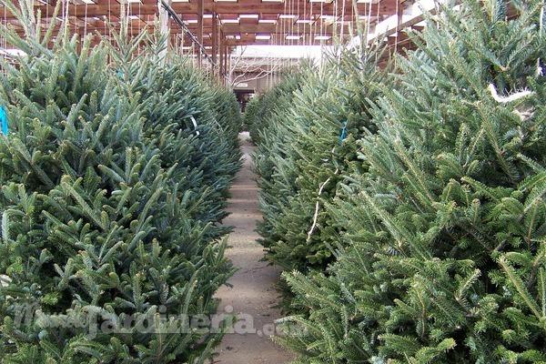 Cuidados para un rbol de navidad natural - Cuidados planta navidad ...
