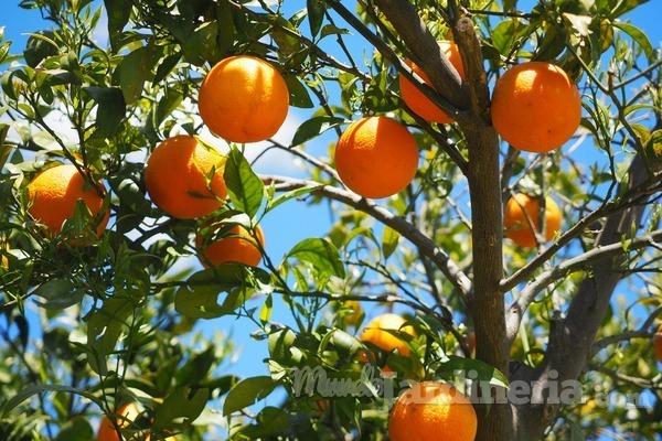 ¿Cómo se cuida un naranjo?