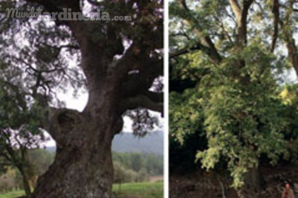 Los árboles legendarios de Cataluña, recopilados en un catálogo
