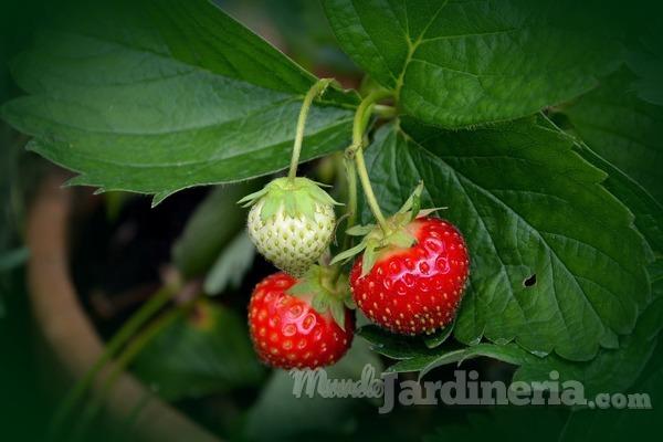 ¿Cuándo y cómo plantar fresas?