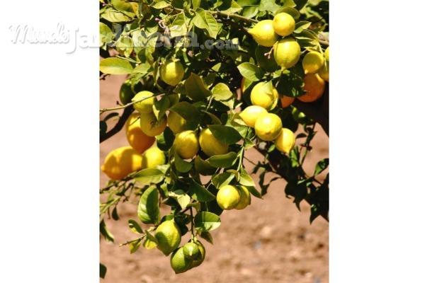 Cómo cuidar tu limonero en invierno