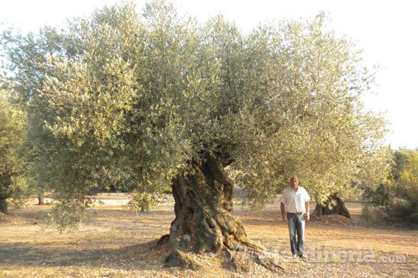 C mo cuidar un olivo en invierno for Arboles de hoja perenne para clima frio
