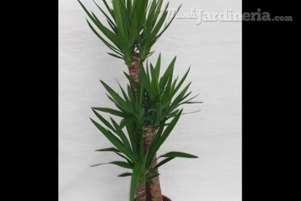 Cuidados de las palmeras for Palmeras de interior