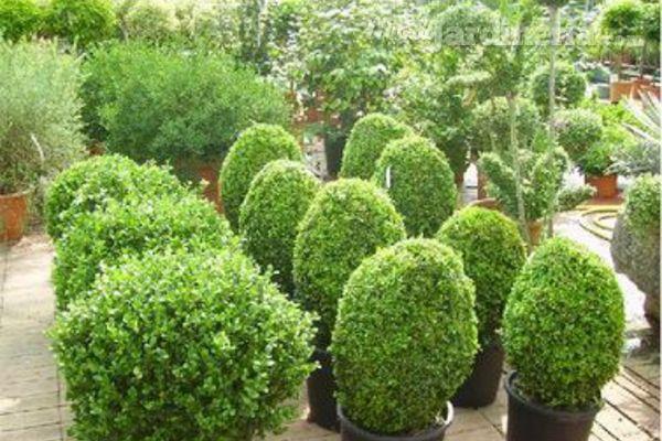 Consejos para el mantenimiento de los setos for Setos para jardin