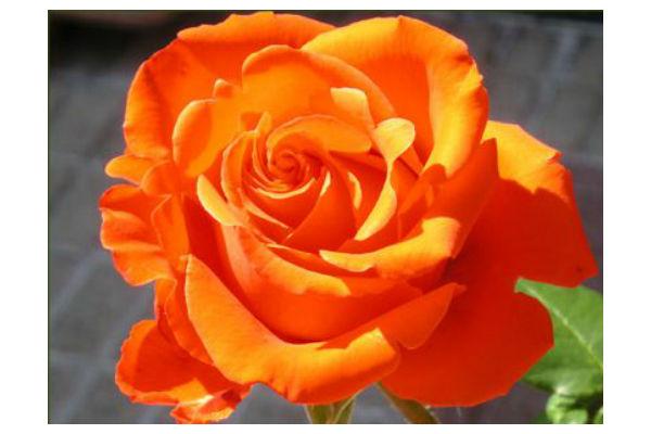 C mo cuidar un rosal en invierno for Viveros el rosal
