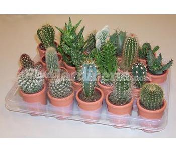 Cactus - MundoJardineria.com