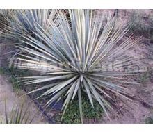 Yucca Glauca Catálogo ~ ' ' ~ project.pro_name