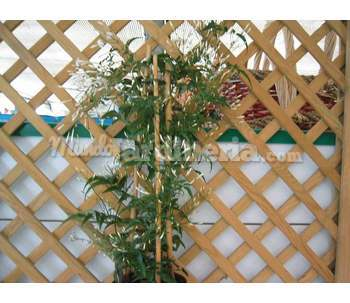 Plantas trepadoras for Jazmin planta precio