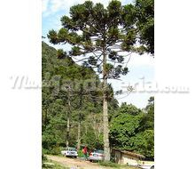 Araucaria Angustifolia Catálogo ~ ' ' ~ project.pro_name
