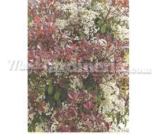 Photinia Fraseri Red Robin Catálogo ~ ' ' ~ project.pro_name