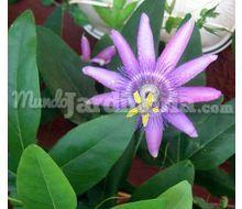 Plantas trepadoras madrid for Jazmin planta precio