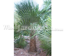 Trithrinax Brasiliensis Acanthocoma Catálogo ~ ' ' ~ project.pro_name