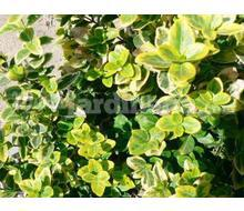 Euonymus Fortunei Emerald N Gold  Catálogo ~ ' ' ~ project.pro_name