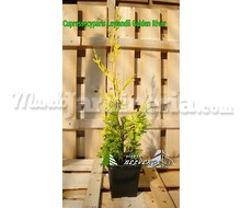 Leylandii Golden River Catálogo ~ ' ' ~ project.pro_name