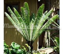 Dioon Spinulosum Catálogo ~ ' ' ~ project.pro_name