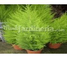 Cupressus Gold Crest Catálogo ~ ' ' ~ project.pro_name