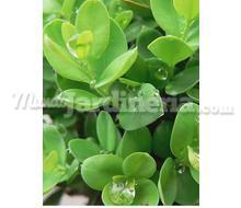 Buxus S. Sufructicosa Catálogo ~ ' ' ~ project.pro_name