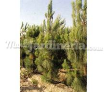 Pinus Canariensis Catálogo ~ ' ' ~ project.pro_name