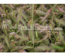 Drosera Capensis Catálogo ~ ' ' ~ project.pro_name
